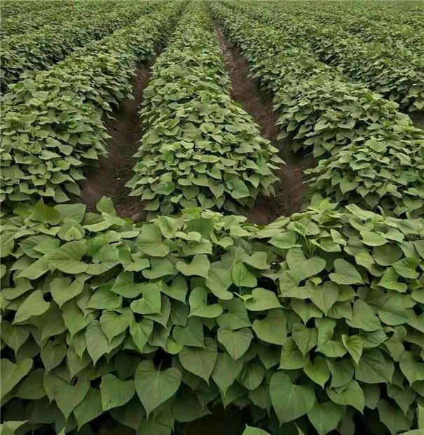 高温多雨季节,红薯种植怎样才能高产?生长中期一定做好这5点