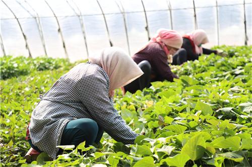 红薯种植加工业如何搭上乡村振兴政策的便车